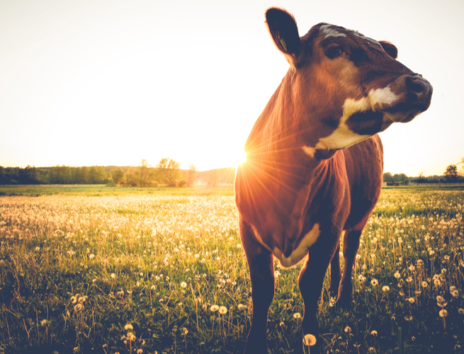 brown and white cow in an open field