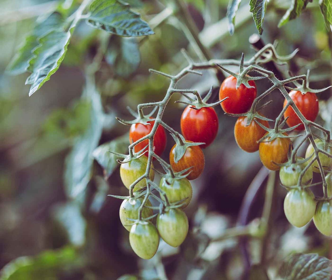 grape tomatoes on the vine