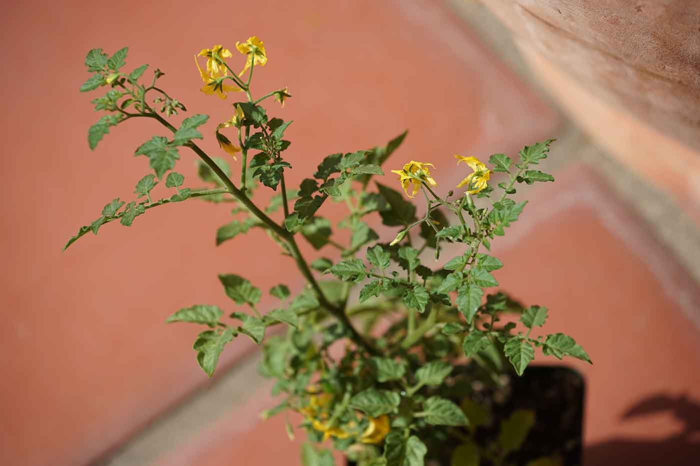 tomato seedling with yellow flowers on it