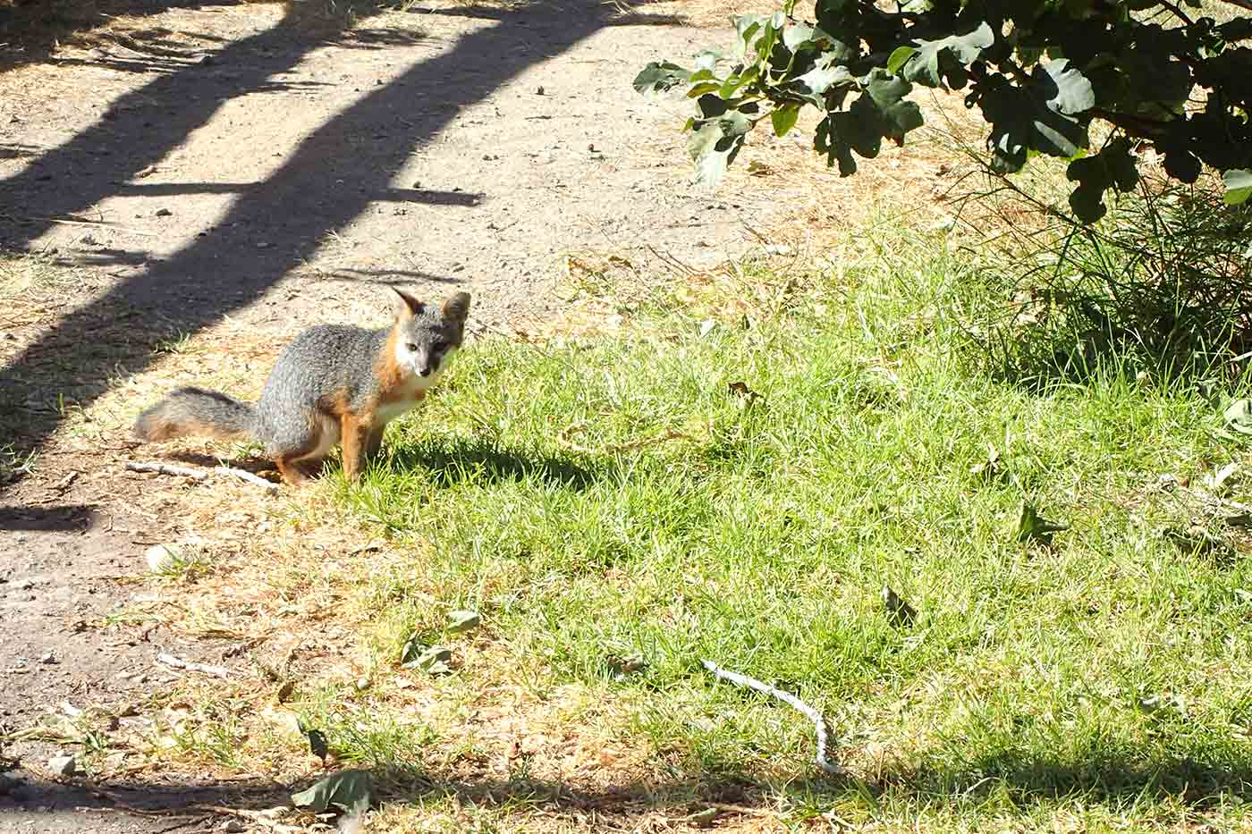 the Island fox on Santa Cruz Island near Scorpion Anchorage