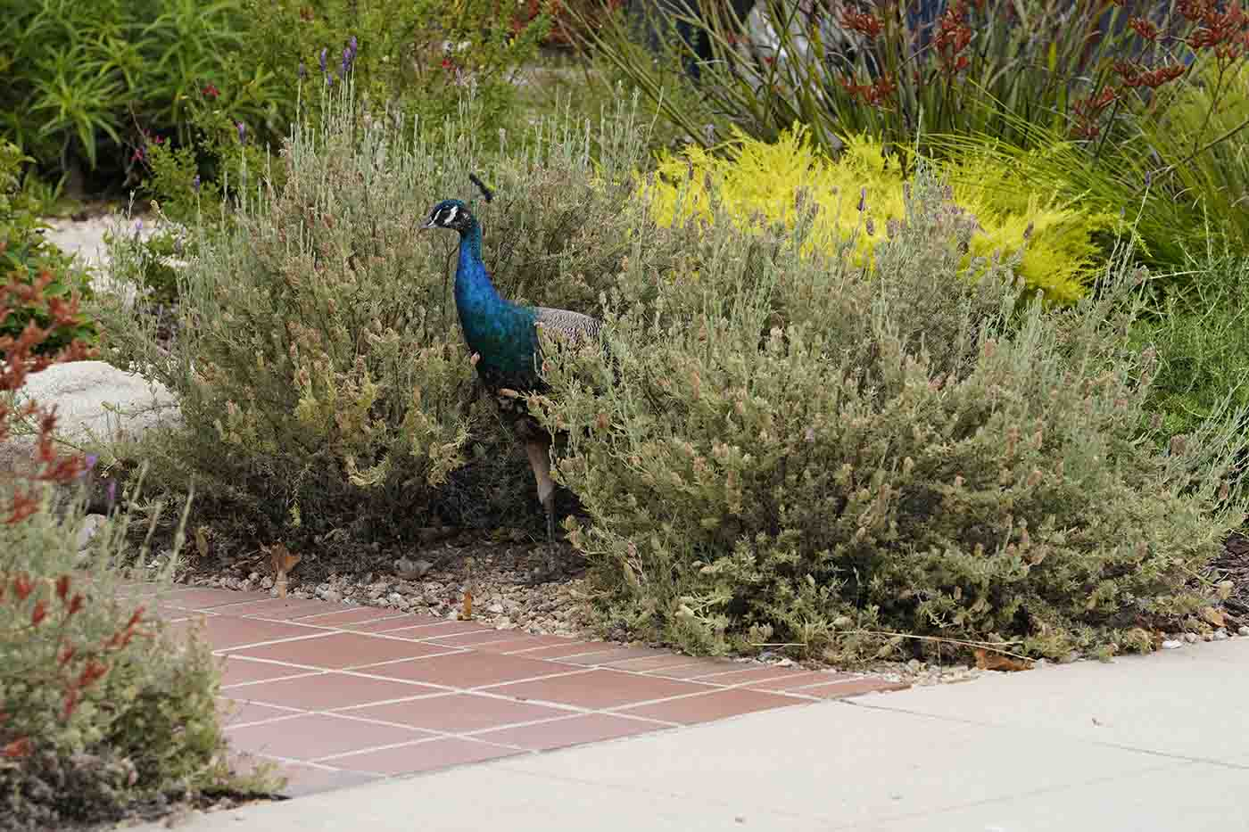 peacock hiding in bushes