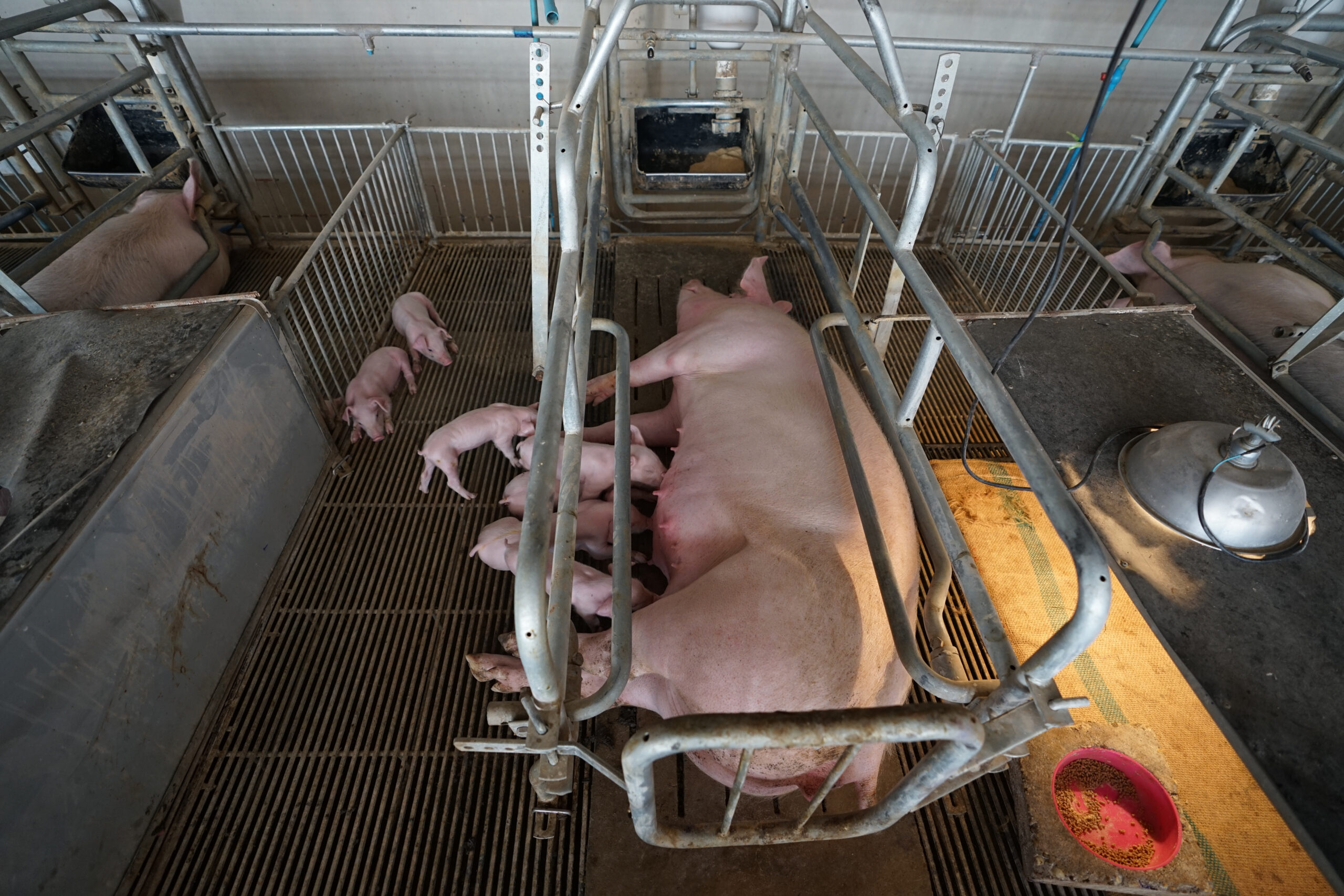 mother pig confined and unable to move in a factory farm