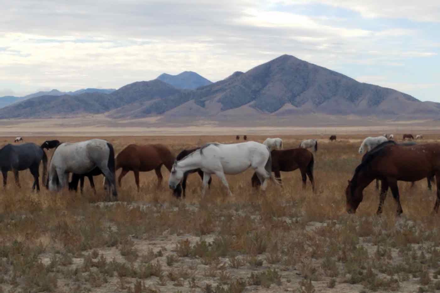 Joanna-Grossman-wild-horse-photo-of-Onaqui-herd-in-Utah-from Animal Welfare Institute