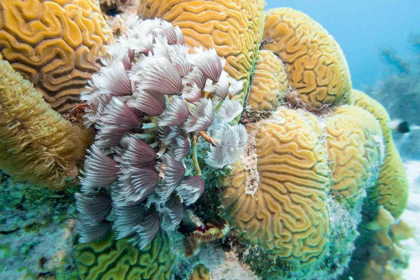 brain coral Bonaire Island