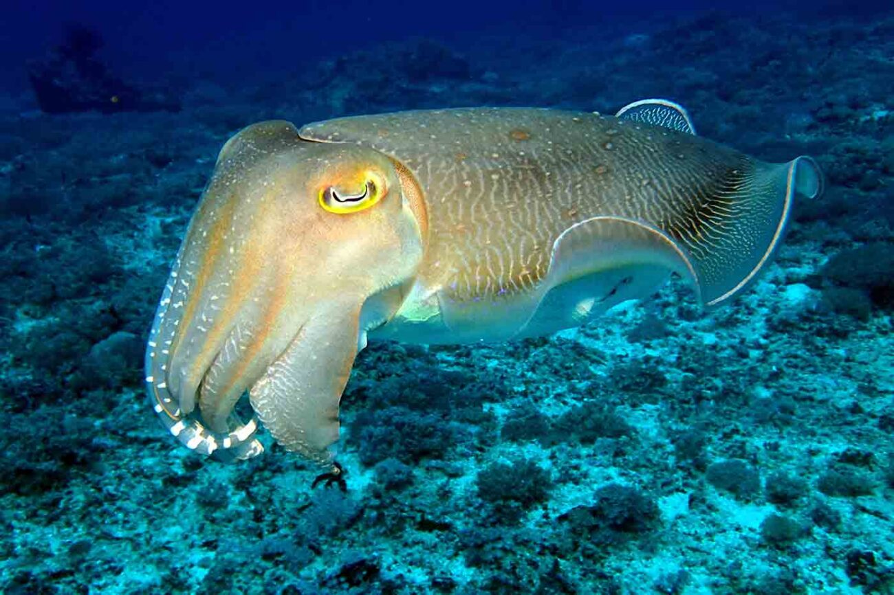 cuttlefish swimming in the sea