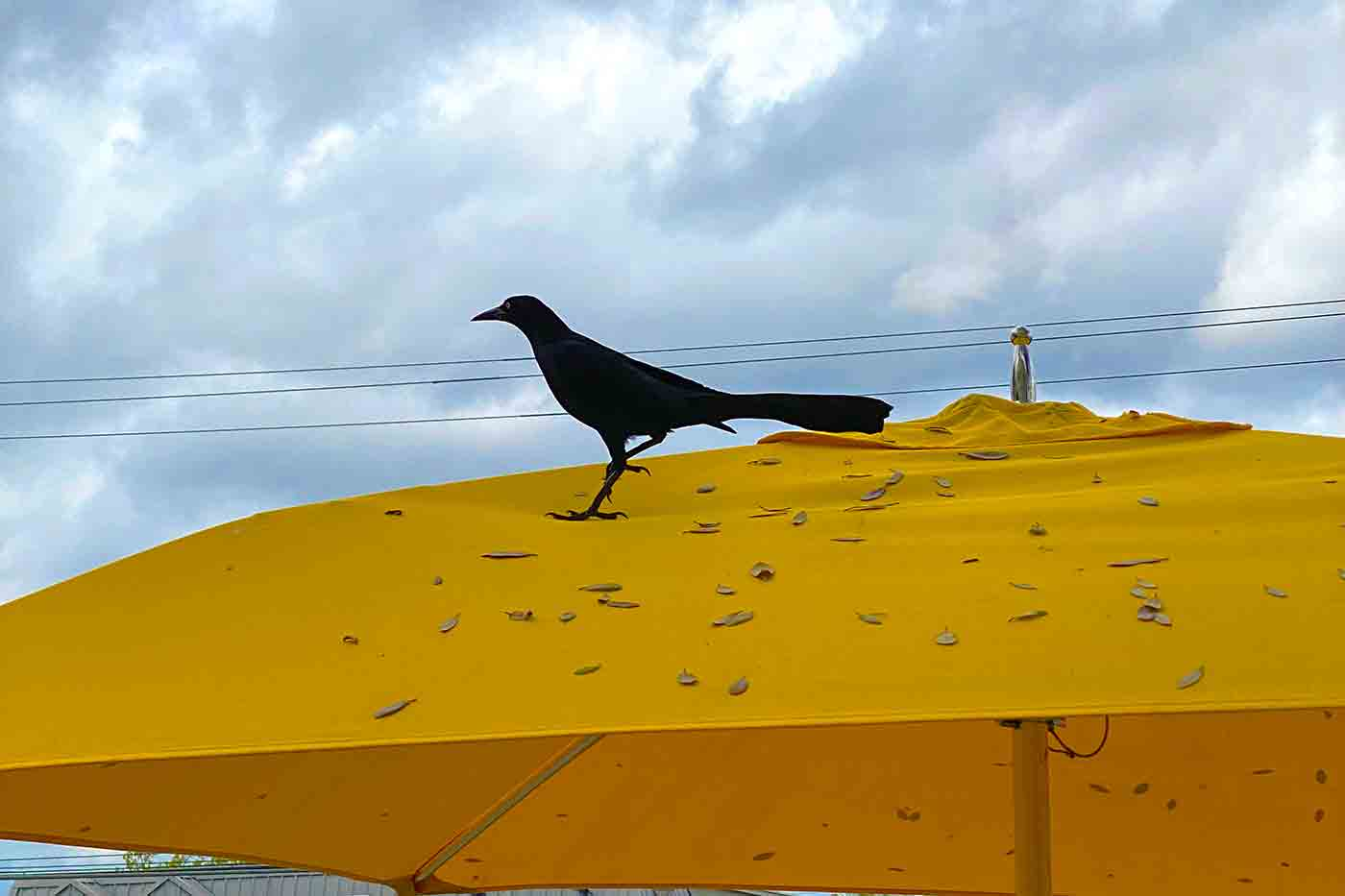 grackle perched on an umbrella at Tacodeli