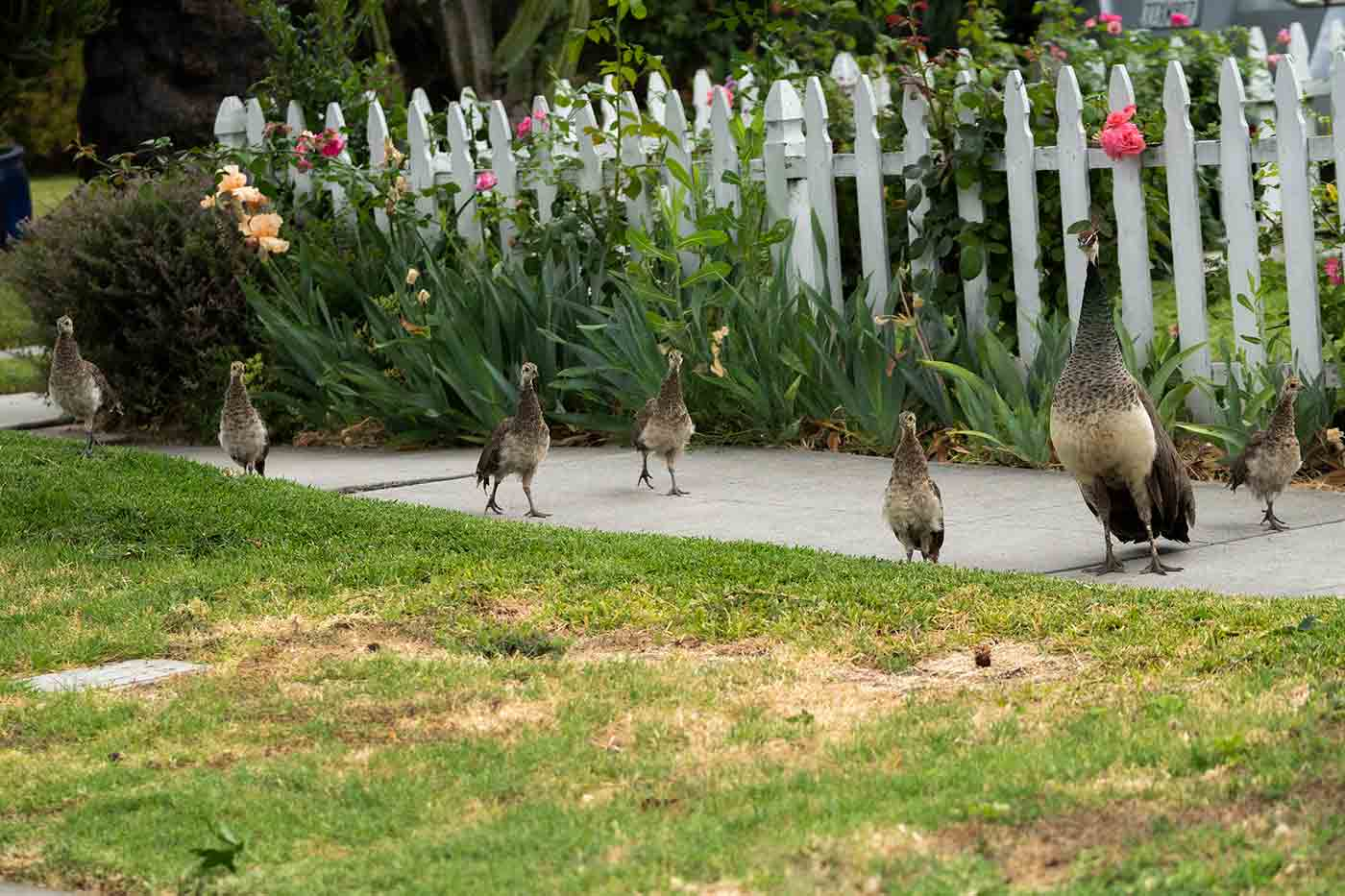 peahen with chicks on a sidewalk in Southern California uses animal smarts to collaborate with other birds to protect her young