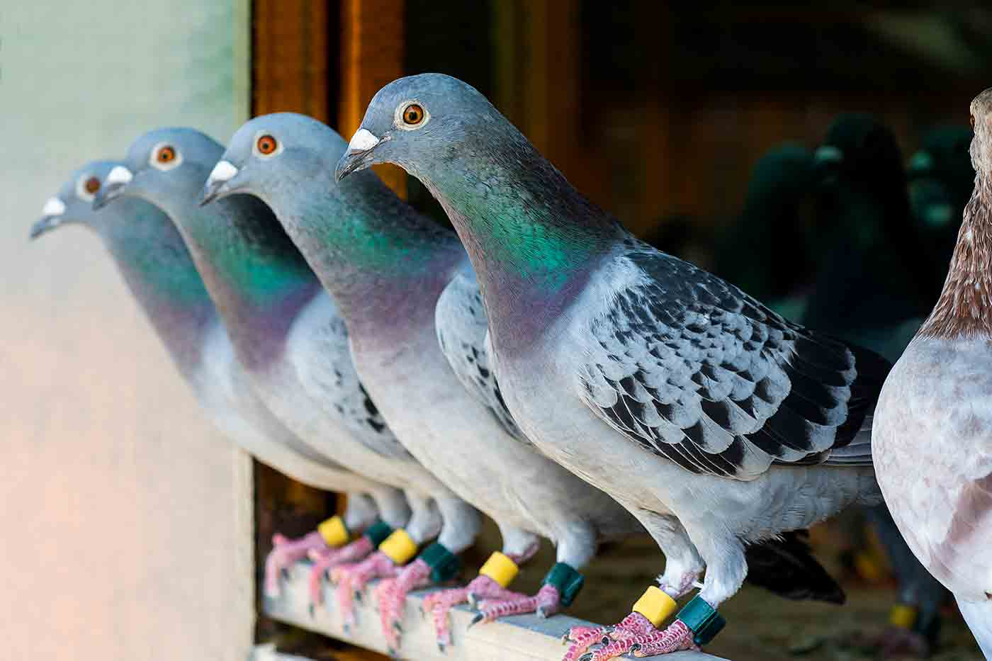 row of four pigeons with banded ankles