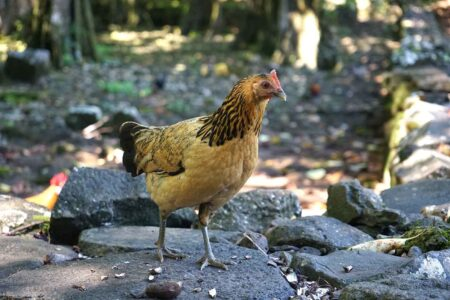 chickens like this wild chicken on the island of Moorea share animal intelligence with other species